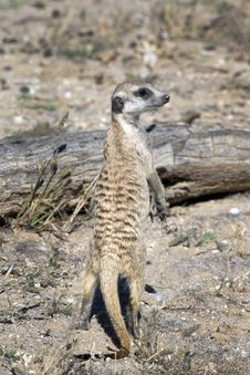 Free Meerkat Or Suricate Stock Photo - 15513850