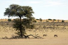 Free Oryx Near A Camel Thorn Tree Stock Images - 15513904