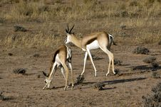 Free Springbok In The Kalahari Royalty Free Stock Photos - 15514258