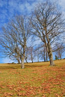 Free Old Beeches On A Mountain Autumn Slope. Stock Photography - 15514322