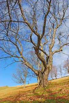 Free Old Beeches On A Mountain Autumn Slope. Royalty Free Stock Photos - 15514348