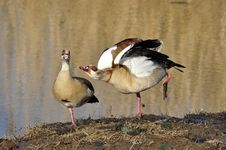 Free Egyptian Geese Royalty Free Stock Photography - 15514717