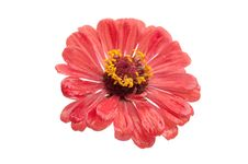 Free Red Flower Royalty Free Stock Image - 15515306