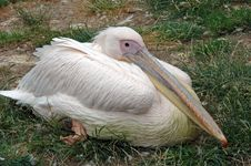 Free Pelican Stock Photos - 15515903