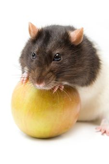 Home Rat With Apple Stock Image