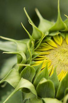 Green Sunflower Stock Photography