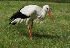 Stork On The Lawn