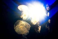Free Jellyfish Royalty Free Stock Photography - 15517107