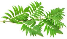 Free Green Branches Of Mountain Ash Royalty Free Stock Photography - 15518207