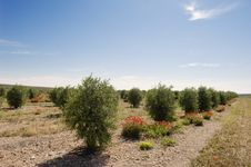 Free Olive Grove Royalty Free Stock Photography - 15518297