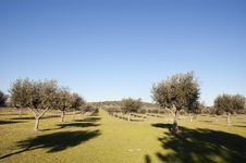 Free Olive Grove Stock Image - 15518651