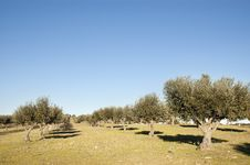 Free Olive Grove Royalty Free Stock Images - 15518879
