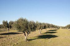 Free Olive Grove Stock Photo - 15518900