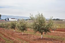 Free Olive Grove Stock Photos - 15518933