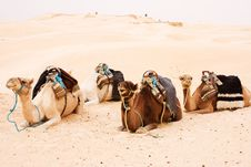 Free Camels Royalty Free Stock Photo - 15518975