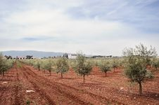 Free Olive Grove Royalty Free Stock Images - 15518989