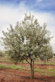 Free Olive Grove Royalty Free Stock Photo - 15519095