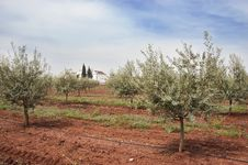 Free Olive Grove Royalty Free Stock Photography - 15519097