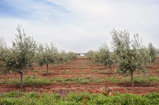 Free Olive Grove Royalty Free Stock Photography - 15519147