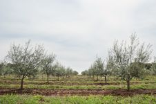 Free Olive Grove Royalty Free Stock Image - 15519156