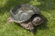 Turtle On A Golf Course Stock Images