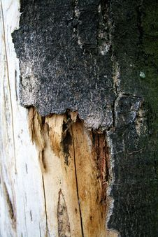 Free Bark Of Tree Stock Photography - 15519662