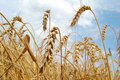 Free Spikes Of Wheat Royalty Free Stock Photography - 15524537