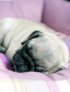 Mops Puppy Sleeping Royalty Free Stock Photography