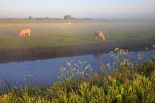 Sunrise With Morning Dew And Cows Royalty Free Stock Images