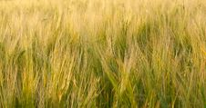 Free Wheat Field Stock Photography - 15521482