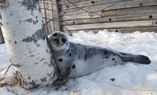 Free Seal Puppy With Birch Royalty Free Stock Image - 15521516