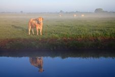 Sunrise With Morning Dew And Cows Royalty Free Stock Image