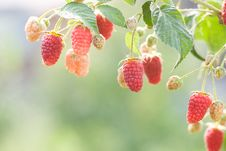 Free Raspberries Stock Photo - 15522170