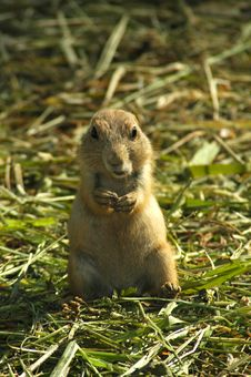 Free Black-tailed Prairie Dog (Cynomys Ludovicianus) Royalty Free Stock Photo - 15522475