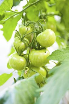 Free Crude Tomatoes Royalty Free Stock Photography - 15522827