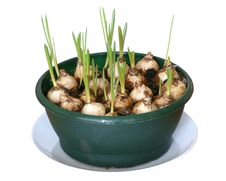 Young Onions Royalty Free Stock Images