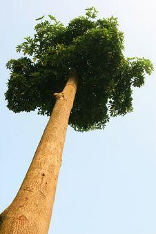 Free Tree Royalty Free Stock Photo - 15525005