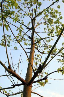 Free Thorn Tree Stock Photos - 15525053