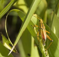 Free Solitary Locust Royalty Free Stock Images - 15525359
