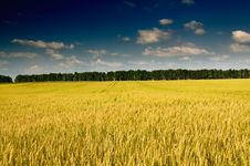 Free Summer Landscape With Cereals Field. Royalty Free Stock Images - 15525429