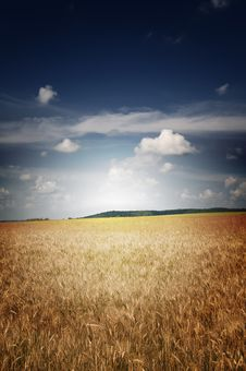 Free Field Of Ripe Wheat And Blue Sky. Stock Photo - 15525480