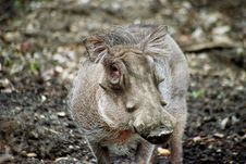 Free Warthog Royalty Free Stock Images - 15525789