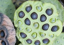 Free Lotus Seeds Royalty Free Stock Image - 15526016