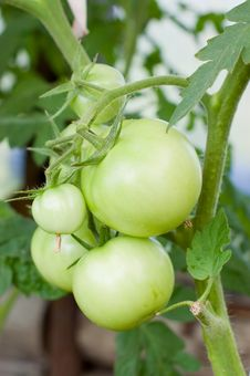 Free Green Tomatoes On A Branch Stock Photography - 15526962