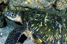 Free Green Sea Turtle Royalty Free Stock Images - 15527049