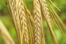 Free Ears Of Barley Stock Images - 15527254