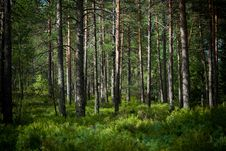 Free Summer In The Pinetree Forest Royalty Free Stock Photos - 15527638