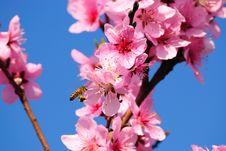 Free The Bee Pollinates An Oriental Cherry Stock Photo - 15527740