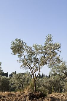 Free Olive Tree Royalty Free Stock Photography - 15528277