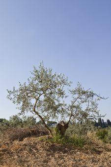 Free Olive Tree Stock Photography - 15528282